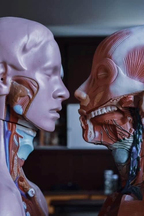 human anatomical mannequins
